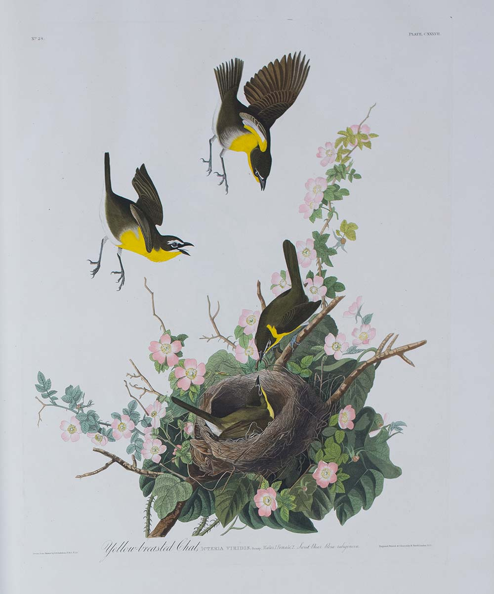 Yellow-breasted-chat - Audubon - image courtesy Liverpool Record Office